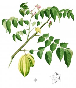 """Averrhoa carambola Blanco1.139-cropped"" by Francisco Manuel Blanco (O.S.A.) - Flora de Filipinas [...] Gran edicion [...] [Atlas I].[1]. Licensed under Public Domain via Wikimedia Commons - https://commons.wikimedia.org/wiki/File:Averrhoa_carambola_Blanco1.139-cropped.jpg#/media/File:Averrhoa_carambola_Blanco1.139-cropped.jpg"